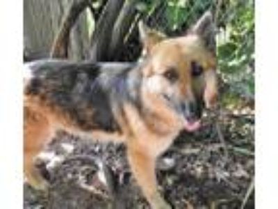 Adopt 41652375 - Available 5/17 a German Shepherd Dog