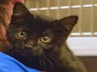 Adopt PINOCCHIO a Domestic Short Hair