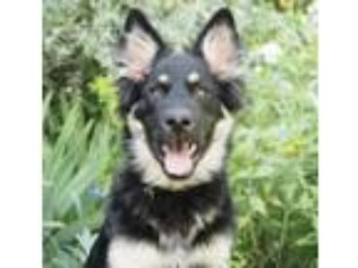 Adopt Serena Williams a German Shepherd Dog