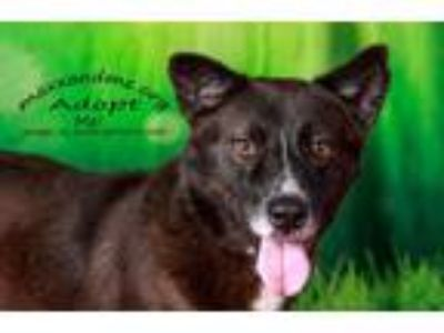 Adopt Herschel FOSTER NEEDED a Brown/Chocolate - with White Husky / Mixed dog in