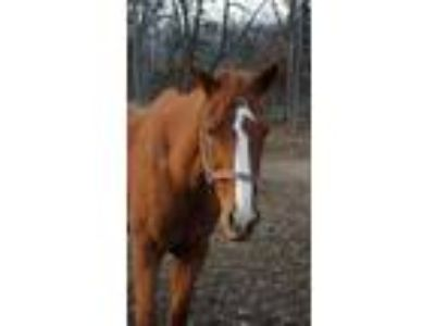Adopt Melody a Thoroughbred