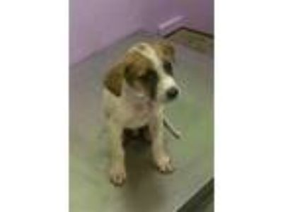 Adopt ACE a White - with Tan, Yellow or Fawn Labrador Retriever / Mixed dog in