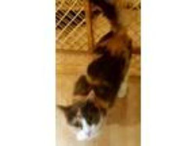 Adopt Callie a Calico or Dilute Calico Calico (short coat) cat in brewerton