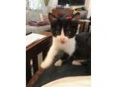 Adopt Truman-The Perfect Little Kitten a Domestic Short Hair