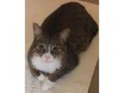 Adopt Honey B. a Brown Tabby Domestic Shorthair / Mixed (short coat) cat in