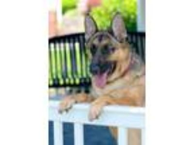Adopt Shiloh a German Shepherd Dog