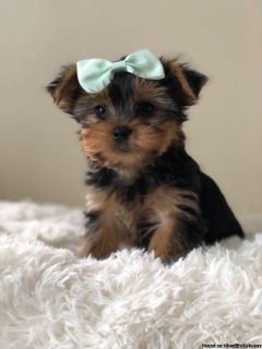 Teacup Teddy Yorkshire Terrier Puppies