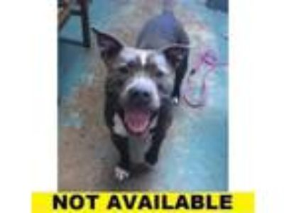 Adopt Rolo a Pit Bull Terrier, Mixed Breed