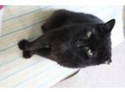 Adopt Haken Snaggletooth a All Black Domestic Shorthair (short coat) cat in New