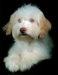 Havanese PUPPY FOR SALE ADN-79017 - AKC Chocolate Havanese boy white w tan  Keith