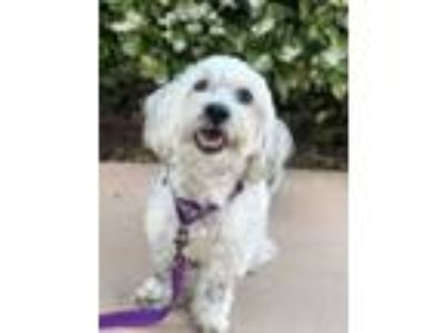 Adopt Maxwell a White - with Gray or Silver Poodle (Miniature) / Mixed dog in