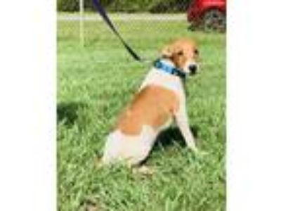 Adopt Curly a Jack Russell Terrier