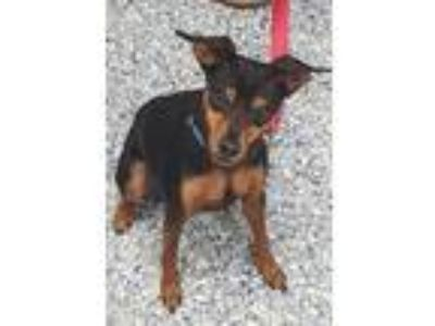 Adopt Newton a Miniature Pinscher / Mixed dog in Angola, IN (25609099)