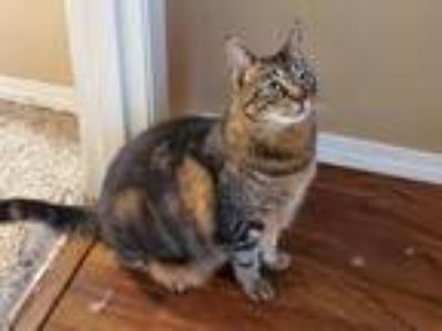Adopt Biscuit Biggs a Domestic Shorthair / Mixed cat in Battle Ground