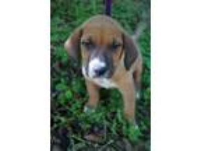 Adopt Gemma a Tan/Yellow/Fawn - with White Boxer / Labrador Retriever / Mixed