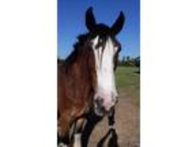 Clydesdale for sale