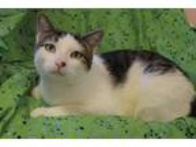 Adopt Otis a Domestic Shorthair / Mixed cat in Westmont, IL (25499003)