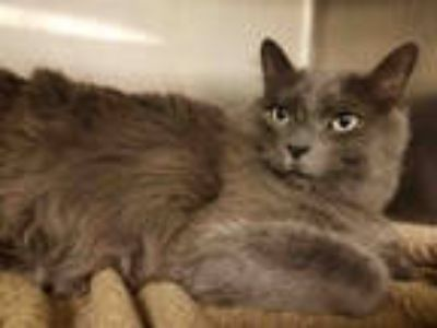Adopt OREO a Gray or Blue Domestic Mediumhair / Mixed (medium coat) cat in