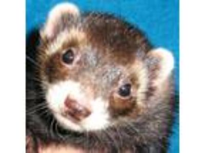 Adopt Diamond and Spade a Ferret
