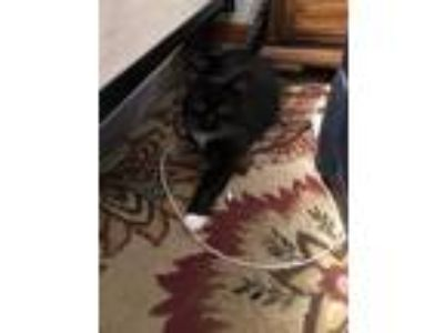 Adopt Fiona a Black & White or Tuxedo Domestic Mediumhair cat in Gretna