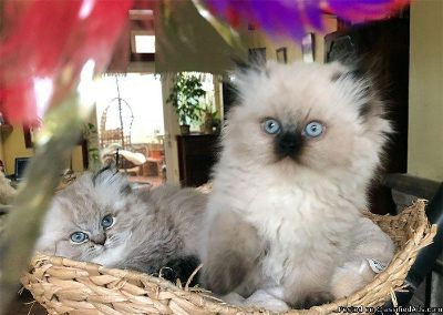 sweet persian kittens for xmas