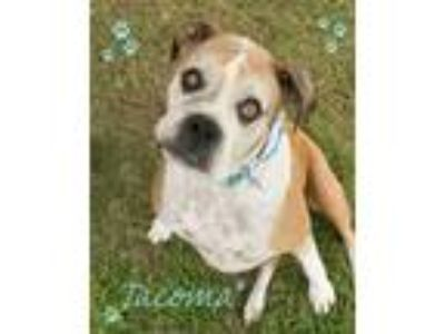 Adopt TACOMA a Tan/Yellow/Fawn - with White Boxer / Mixed dog in Seagoville