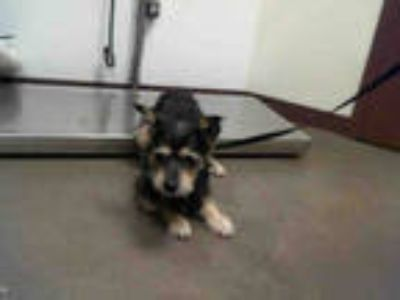 Adopt a Black - with Tan, Yellow or Fawn Schnauzer (Miniature) / Mixed dog in