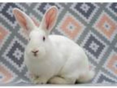 Adopt Amelia a White New Zealand / Mixed rabbit in San Diego, CA (25866617)