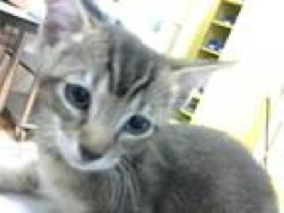 Adopt BRUCE BANNER a Brown Tabby Domestic Shorthair / Mixed (short coat) cat in