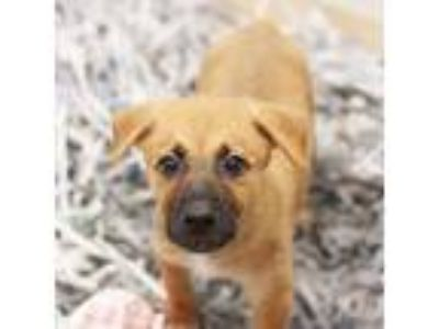 Adopt Shannon a Brown/Chocolate Shepherd (Unknown Type) / Mixed dog in Atlanta
