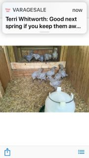 Lavender Orpington roosters