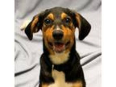 Adopt Roma a Black Beagle / Black Mouth Cur / Mixed dog in Saukville