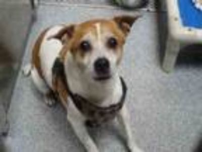 Adopt A1638327 a Parson Russell Terrier, Mixed Breed