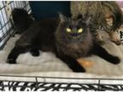 Adopt Abby/Holly a All Black Domestic Longhair (medium coat) cat in Brea
