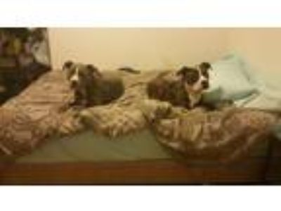 Adopt Phoenix a Brindle American Pit Bull Terrier / American Staffordshire