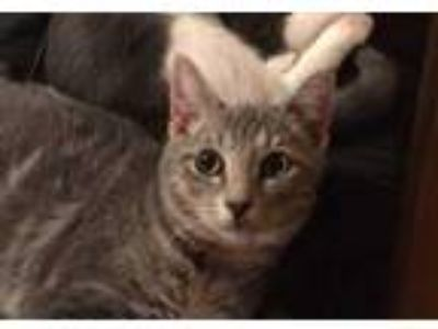 Adopt Gabriel a Domestic Shorthair cat in Conway, AR (23521894)