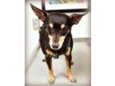 Adopt Minnie Mouse Honey Bunny a Miniature Pinscher, Mixed Breed