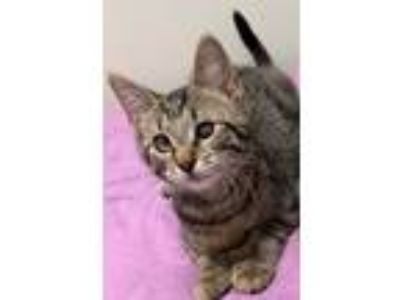 Adopt Laverne (POLYDACTYL) a Domestic Short Hair, Tabby