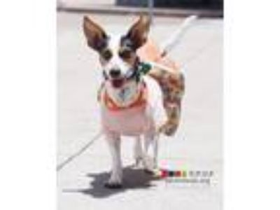 Adopt Flower a Rat Terrier, Mixed Breed