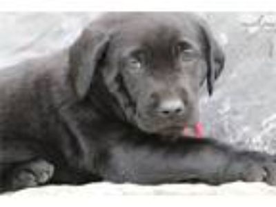Black Female Lab with Great Lineage
