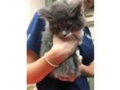 Adopt AVERY ABLE a Gray, Blue or Silver Tabby Domestic Shorthair / Mixed (short