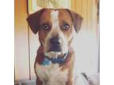 Adopt Ryno a Red/Golden/Orange/Chestnut - with White Pointer / Beagle / Mixed