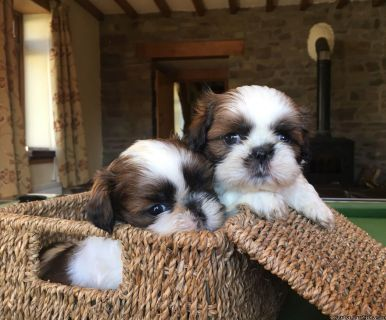 Adorable Male And Female Shih Tzu Puppies