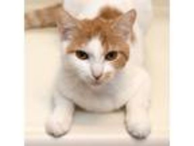 Adopt Creamsicle a White Domestic Shorthair / Mixed cat in Palatine