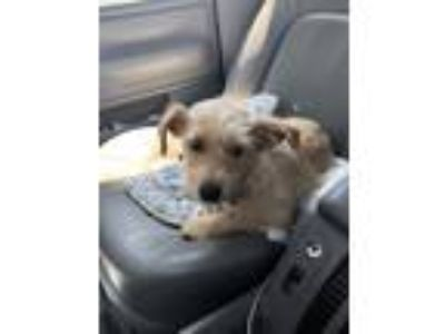 Adopt Honey a Tan/Yellow/Fawn Terrier (Unknown Type, Medium) / Mixed dog in