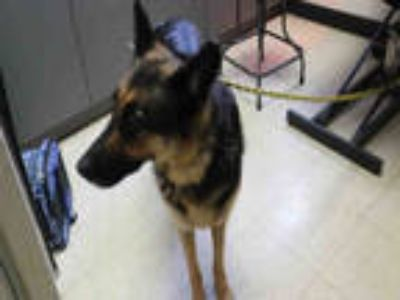 Adopt BARBIE a Black - with Tan, Yellow or Fawn German Shepherd Dog / Mixed dog