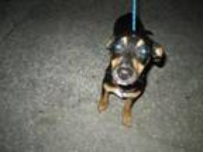 Adopt Pepper - Available 6/18 a Terrier