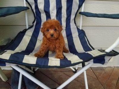 Maltipoo PUPPY FOR SALE ADN-105384 - Red Maltipoo Girls