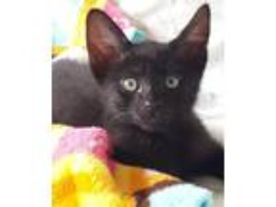 Adopt Cliff a All Black Domestic Shorthair / Mixed cat in Oakland, CA (25657870)