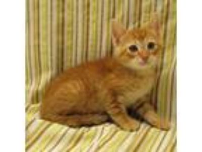 Adopt Sonny a Orange or Red Domestic Shorthair / Domestic Shorthair / Mixed cat
